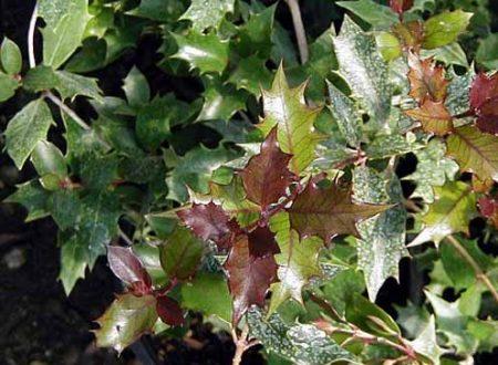 Osmanthus heterophillus 'Purpureus'