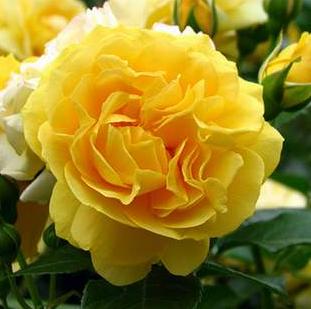 Rosa 'Anisade'