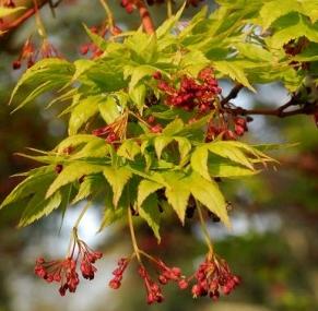 MALUS x robusta 'RED SENTINEL' (Melo da fiore)