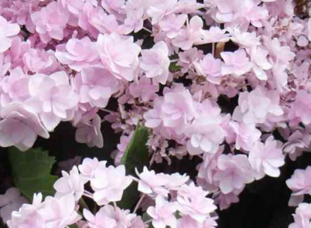 Hydrangea macrophylla 'Forever Pink' (Ortensia)