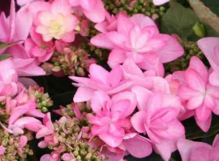 Hydrangea macrophylla 'Rosita' (Ortensia)